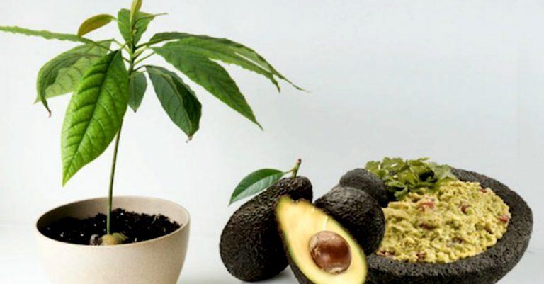 Planta tu propio rbol de aguacates en casa blog - Plantar aguacate en casa ...