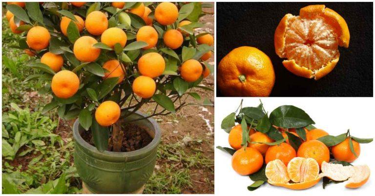 con esta sencilla técnica podrás cultivar mandarinas en una maceta