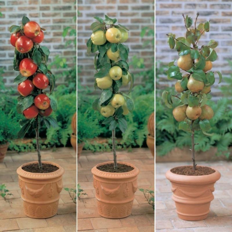 Aprende a cultivar rboles frutales en tu patio o balc n for Cultivo de arboles frutales en macetas