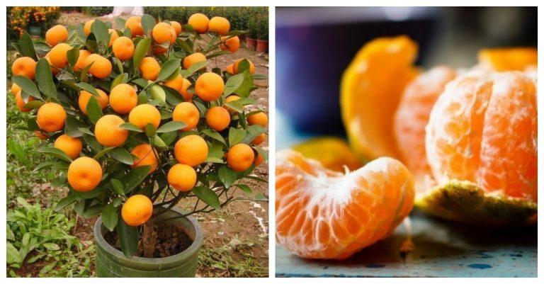 aprende a cultivar mandarinas en una maceta y cómo aprovecharlas