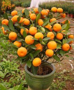 cultiva-tus-propias-mandarinas-3